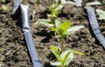 Капельный полив: самодельный подземный способ для дачного участка, как создать систему орошения огорода