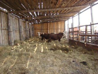 Сарай для коров: организация помещения и загона для КРС, обустройство